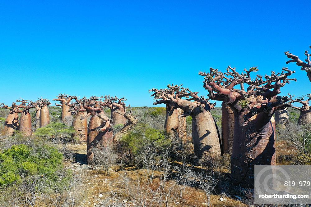 Baobab forest near Morombe, Atsimo Andrefana Region, Madagascar
