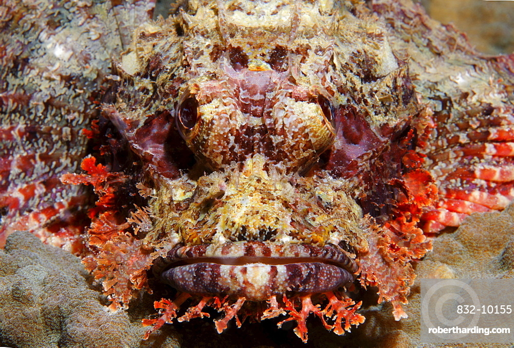 Bearded scorpionfish (Scorpaenopsis barbata) in perfect camouflage on stone coral, Gangga Island, Bangka Islands, North Sulawesi, Indonesia, Molucca Sea, Pacific, Asia