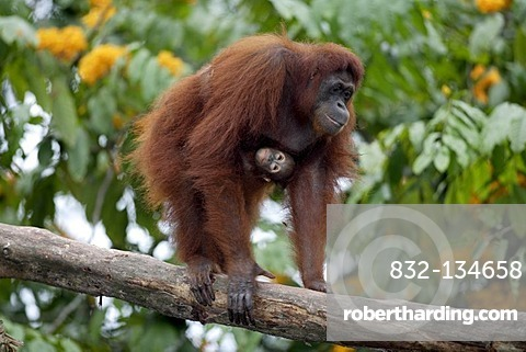 Borneo Orangutan (Pongo pygmaeus), female adult with young in a tree, Asia