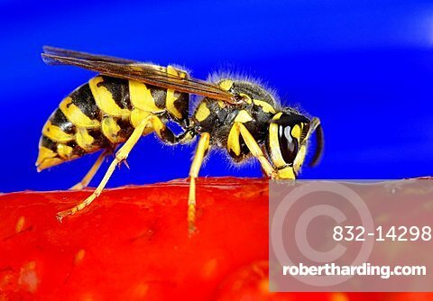 German or European Wasp (Vespula germanica) nibbling strawberry cake