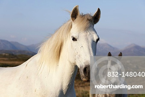 Portrait of a white horse, Connemara, County Galway, Republic of Ireland, Europe