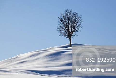 Single tree, winter landscape with fresh snow in the Alpstein massif, Appenzell, Switzerland, Europe