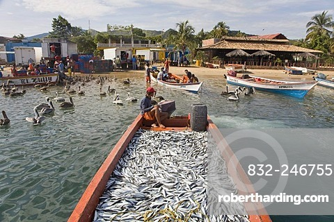 Boat full of sardines, Santa Fe, Caribbean, Venezula, South America