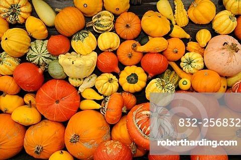 Various Pumpkins (Cucurbita)