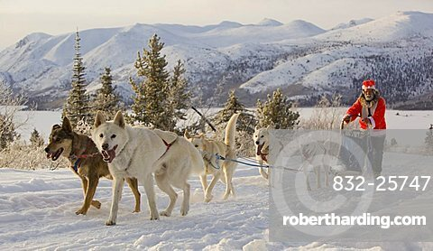 Santa Claus, running sled dogs, Alaskan Huskies, dog team, musher, dog sled race near Whitehorse, Fish Lake behind, Yukon Territory, Canada