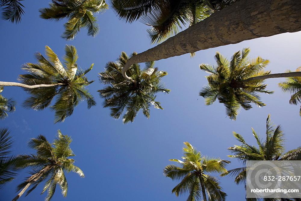 Worm's-eye view of Coconut Palms (Cocos nucifera), Playa Medina Beach, Caribbean, Sucre, Venezuela, South America