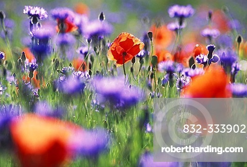 Meadow of poppies and blue cornflowers close to Aix en Provence, France.