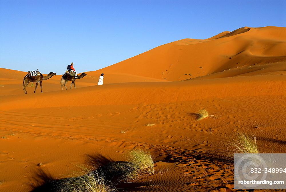 Camel rider being guided through the desert, Erg Chebbi, Merzouga, Morocco, North Africa