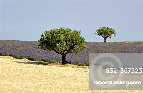 Fields of wheat and lavender, Plateau of Valensole, Provence, France, Europe