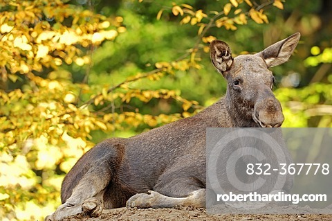 Eurasian Elk (Alces alces alces), cow in autumn, in captivity, North Rhine-Westphalia, Germany, Europe