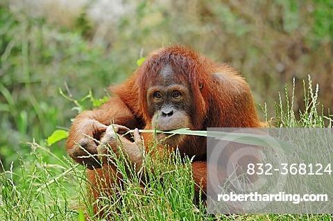 Sumatran Orangutan (Pongo pygmaeus abelii, Pongo abelii), juvenile, native to Sumatra, Asia, in captivity, Germany, Europe