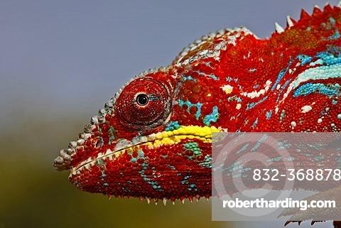 Panther Chameleon (Furcifer pardalis), Ambilobe-Ambilorama colour variation, portrait, Madagascar, Africa, Indian Ocean