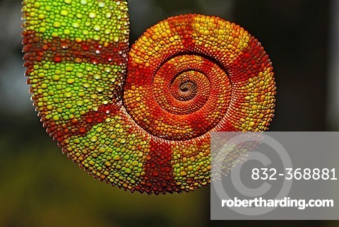 Coiled tail of a Panther Chameleon (Furcifer pardalis), Ambilobe-Ambilorama colour variation, Ambilobe, Madagascar, Africa, Indian Ocean