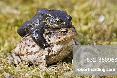 Common toads (Bufo bufo), mating