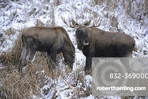 Eurasian Elk (Alces alces), bull and cow standing in the snow, captive, Bavaria, Germany, Europe
