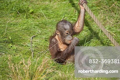 Orang Utan (Pongy pygmaeus), baby, young