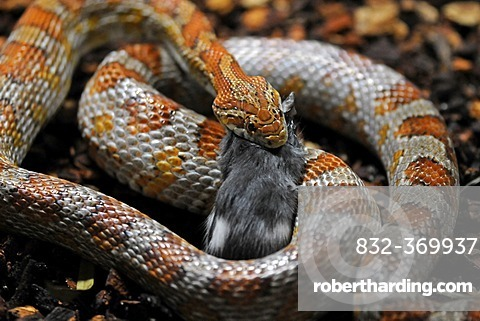 Corn Snake or Red Rat | Stock Photo