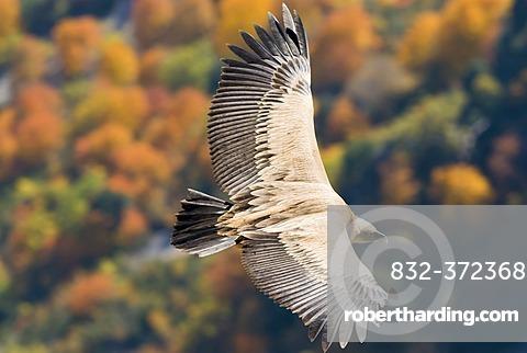 Griffon Vulture (Gyps fulvus), Gorges du Verdon, France, Europe