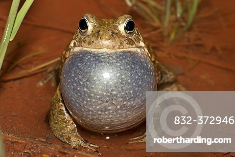 Natterjack toad (Bufo calamita), male calling, Thuringia, Germany, Europe