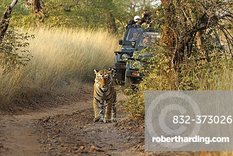 Tiger (Panthera tigris), walking in front of tourist vehicles on a safari, Ranthambore National Park, Rajasthan, India, Asia