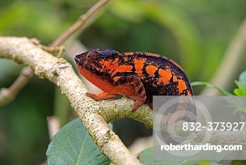 Panther Chameleon (Furcifer pardalis), female, foraging, Madagascar, Africa