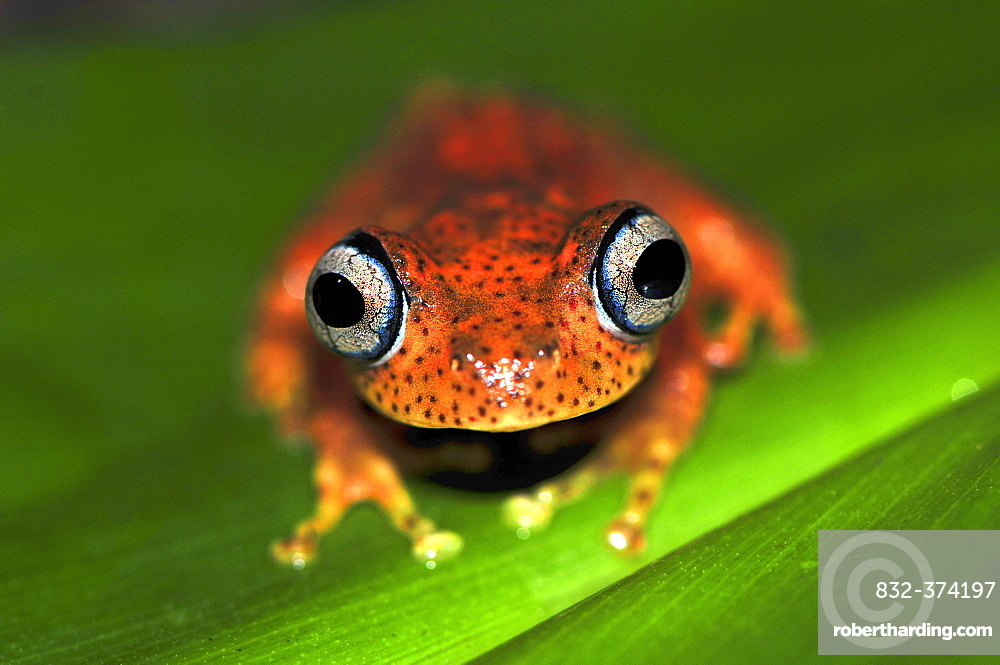 Madagascar frog species (Boophis pyrrhus), rain forests of Andasibe, Madagascar, Africa, Indian Ocean