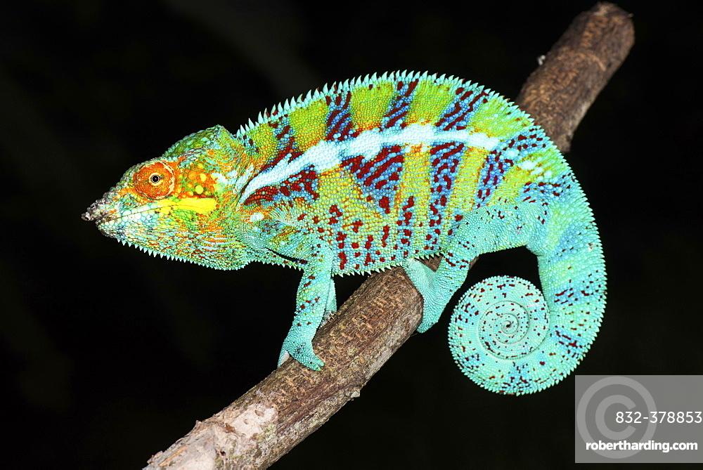 Panther chameleon (Furcifer pardalis) Male, Ambanja, Northwest Madagascar, Madagascar, Africa