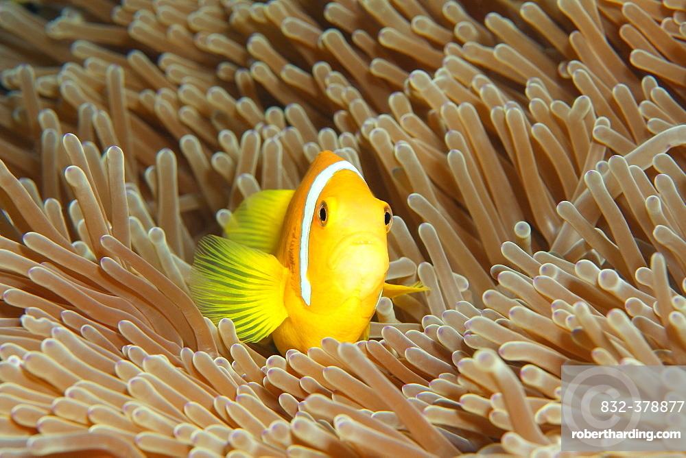 Maldive anemonefish (Amphiprion nigripes), magnificent sea anemone (Heteractis magnifica), Indian Ocean, Maldives, Asia