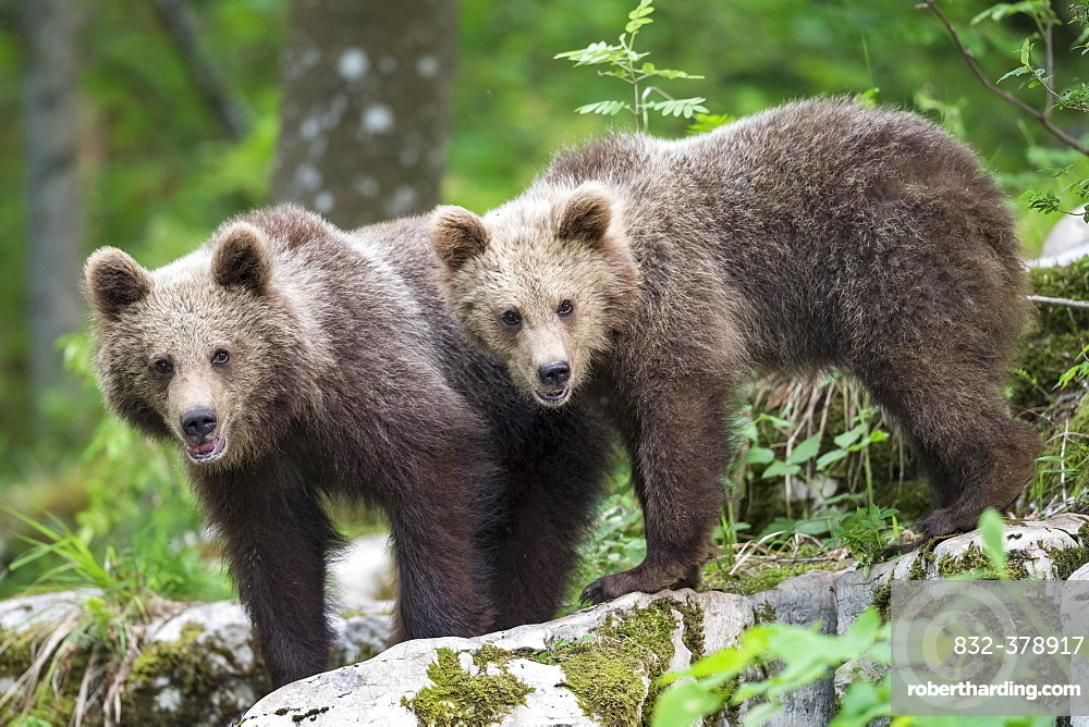 European brown bear (Ursus arctos arctos), two young siblings, Notranjska Region, Slovenia, Europe