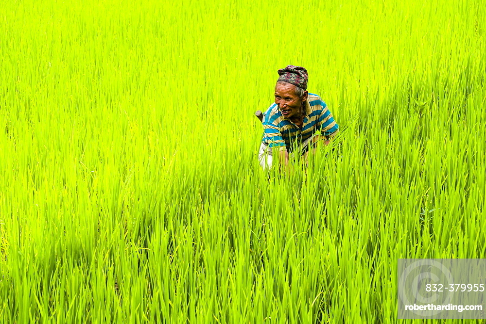 Man is working in green terrace rice fields, Upper Marsyangdi valley, Bahundanda, Lamjung District, Nepal, Asia