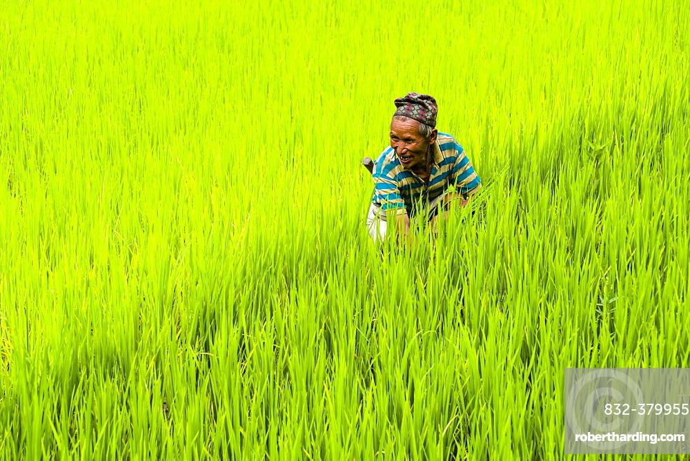 Man is working in green terrace rice fields, Upper Marsyangdi valley, Bahundanda, Lamjung District, Nepal, Asia
