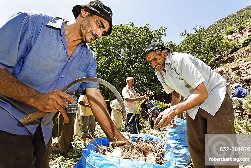 A group of male residents of the village of Iwasoudane cutting the green off the rhizomes of organically grown Irises (Iris germanica) for natural cosmetics in Europe, Ait Inzel Gebel Region, Atlas Mountains, Morocco, Africa