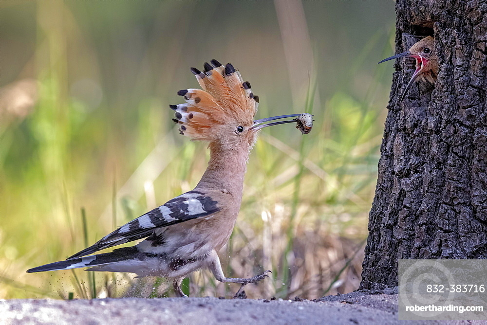 Hoopoe (Upupa epops), feeding of the young bird, biosphere reserve Mittelelbe, Saxony-Anhalt, Germany, Europe