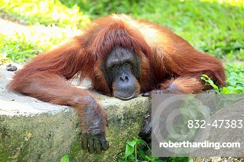 Orangutan (Pongo pygmaeus), adult, resting, in captivity, Singapore, Southeast Asia, Asia