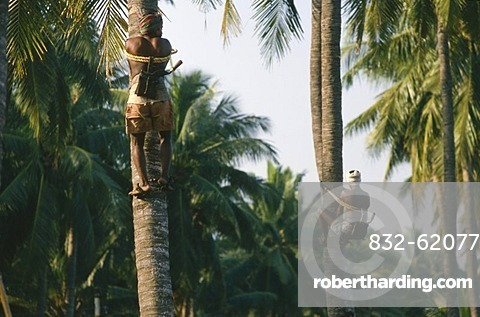 Man picking coconuts, Kalipatanam, Andhra Pradesh, India, Asia