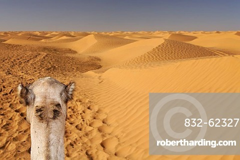 Head of a dromedary (Camelus dromedarius) in the Sahara near Ksar Ghilane, Tunisia, Maghreb region, North Africa, Africa
