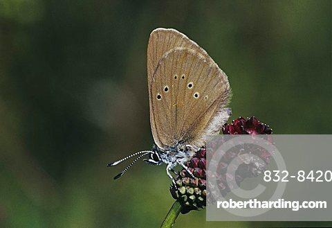 Dusky Large Blue (Maculinea nausithous), adult on Great Burnet (Sanguisorba officinalis), Rheindelta, Germany, Europe