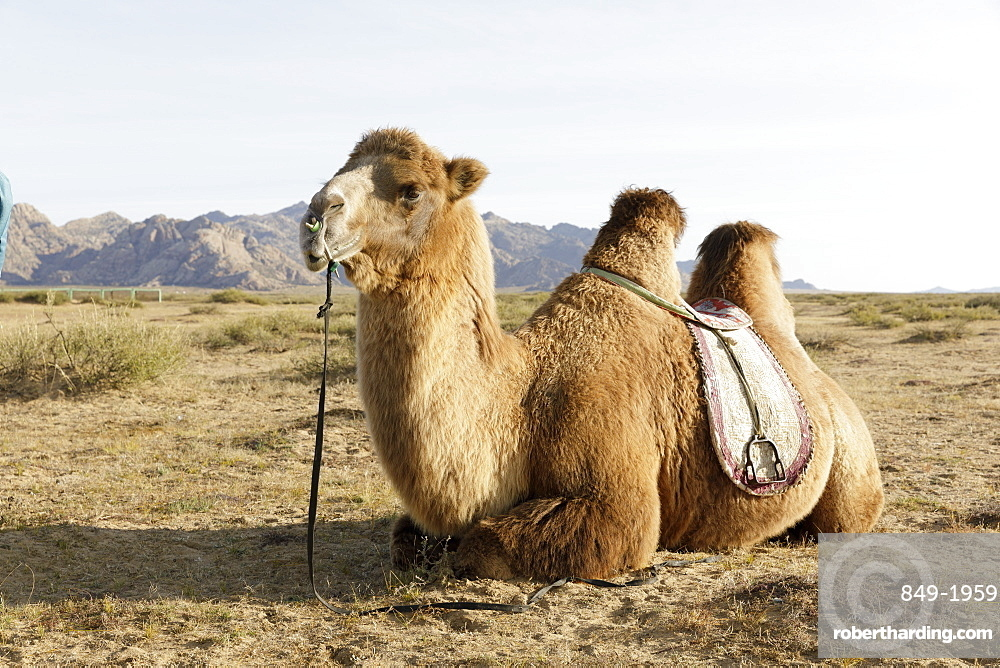 A camel in Khogno Khan National Park, Mongolia, Central Asia, Asia