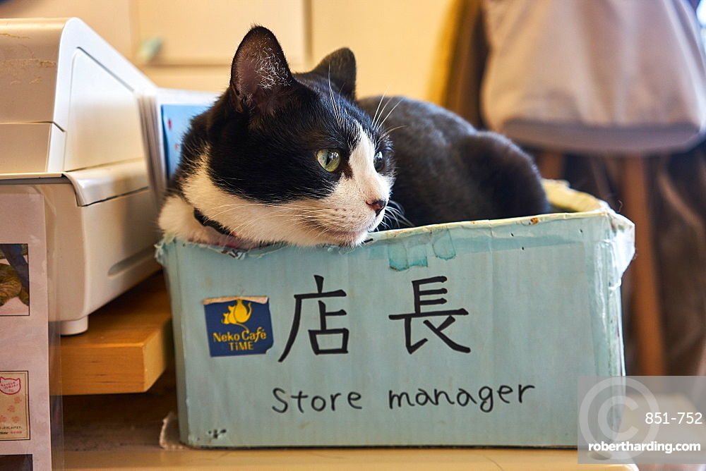 Cat sitting in a box in a Japanese cat cafe, Kyoto, Japan, Asia