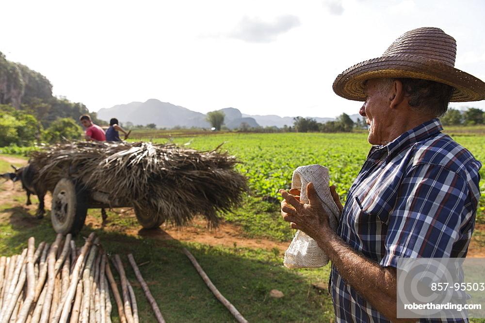Side view shot of farmer working in field, Vinales, Pinar del Rio Province, Cuba