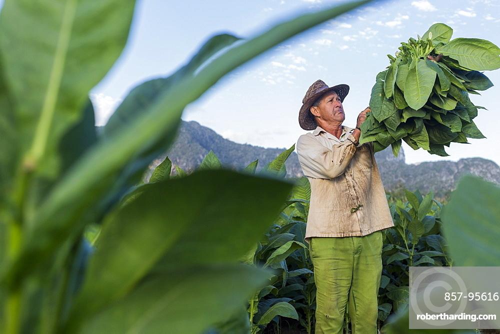 Male worker harvesting tobacco leaves in plantation, La Palma, Pinar del Rio Province, Cuba