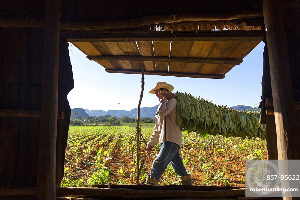 Man carrying tobacco leaves seen through open window of simple cottage, Vinales, Pinar del Rio Province, Cuba