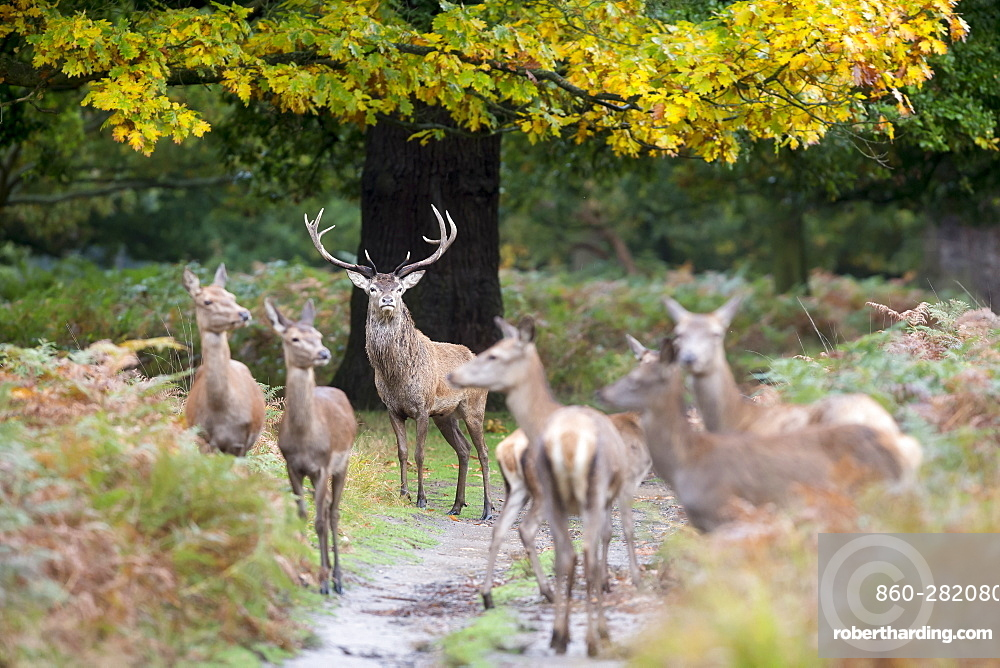 Stag Red Deer standing among hinds in autumn, GB
