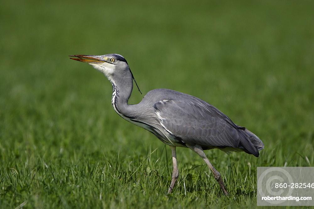 Grey Heron walking in a meadow, France