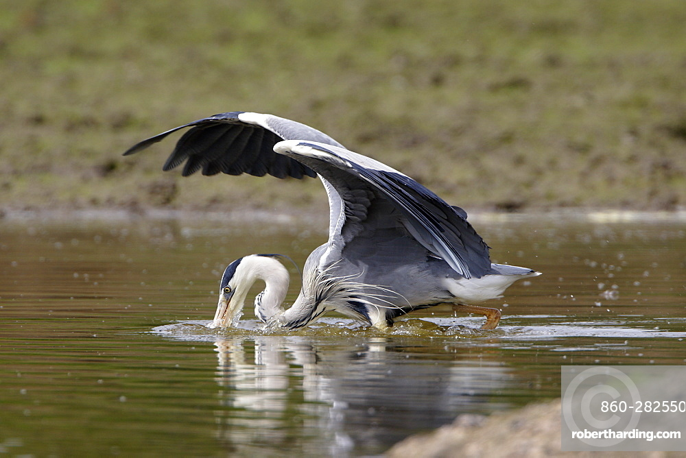 Grey Heron fishing in a pond, France