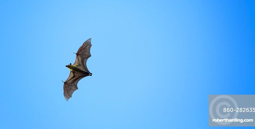 Straw-coloured fruit bat, Kasanka NP  Zambia