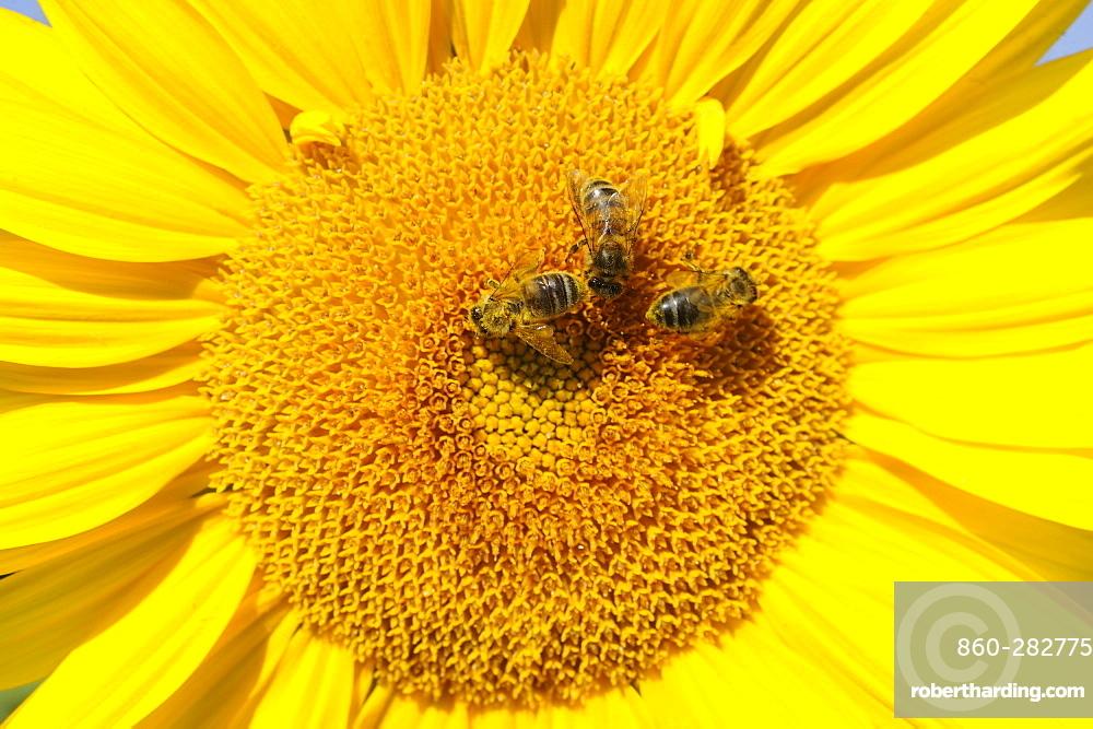 Honey bees on flower Sunflower, Lorraine France