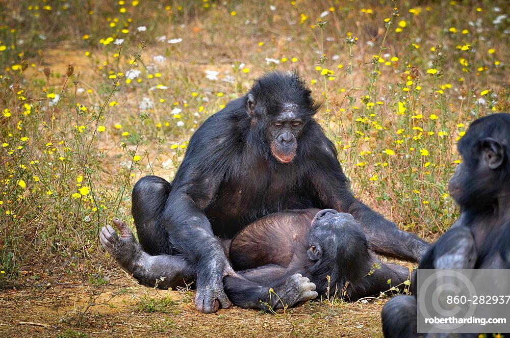 Bonobos Mating, Monkey Valley France  Stock Photo-3278