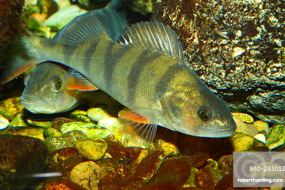Common perch above the bottom