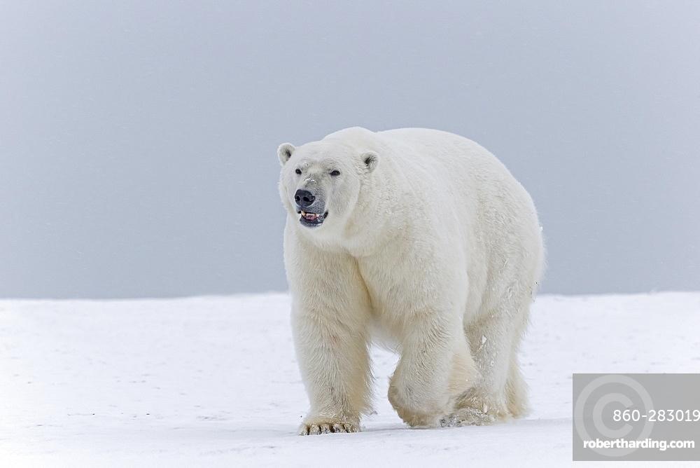 Male polar bear on the ice, Barter Island Alaska